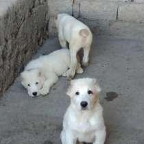 Продаются щенки алабаи, в г.Ташкент