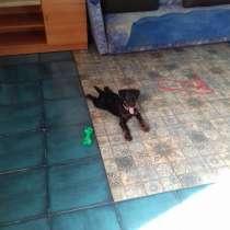 Продам щенка ягдтерьера, в Новосибирске