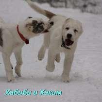 Щенки Туркменского волкодава (САО, азиат, алабай) питомник, в Екатеринбурге