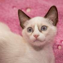 Сиамский котенок альбинос очень редкого окраса, в г.Нетания