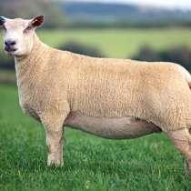 Племенные овцы Шароле (Скот из Европы класса Элита), в г.Ереван