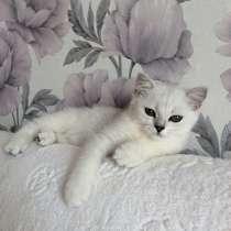 Британский клубный котенок мальчик Центавр, в Москве