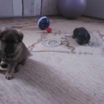 Продам щенков немецкой овчарки, в Перми