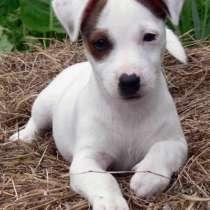 Продам щенков породы Джек Рассел терьер, в Краснодаре