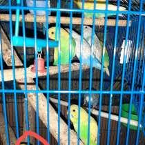 Ручные попугаи, в Черкесске