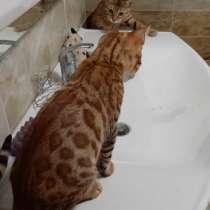 Бенгальская кошечка котенок, в г.Минск