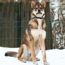 Потрясающий разумный и красивый пёс, в Санкт-Петербурге