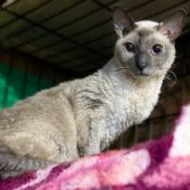 Кошка корниш-рекс с голубыми глазами в дар, в Москве