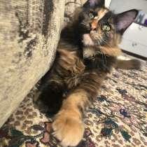 Мейн-кун котёнок, в Самаре