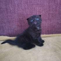 Шотландский вислоухий котенок, в Набережных Челнах