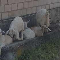 Продается козел ок.100кг. ж/в и молодняк 2 мес. И 5 мес, в г.Краснодон