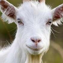 Продаются козы, в Ржаксе
