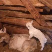 Продаются козлята от молочной козы, в Волгограде