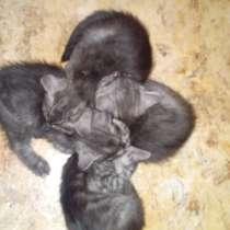 Британские котята, в Сургуте