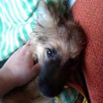 Продам щенка от овчарки, в Камышине