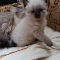 Продам котят невских маскарадных, в Ростове-на-Дону