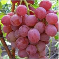Саженцы винограда. Достойный виноградник, в Красноперекопске