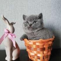 Британские котята, в г.Барановичи