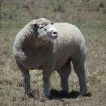Племенные овцы Иль де Франс (Скот из Европы), в Красноярске