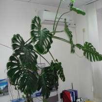 Продаю большую монстеру, 3 метра ! Денежное дерево -12 лет!, в Краснодаре