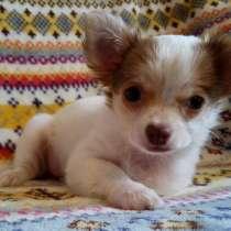 Купить щенка чихуахуа. РКФ. Бело-рыжий, шоколад, в Москве
