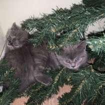 Британские котята, в Балашихе