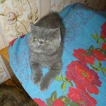 Экзотические плюшевые короткошетстные мраморные котята экстр, в г.Витебск