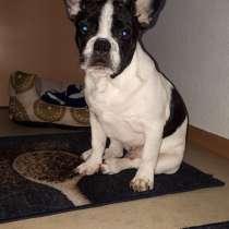 Продам 6ти месячного щенка Французкого бульдога, в г.Людвигсбург