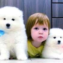 Самоедики белоснежные щенята, в Ярославле
