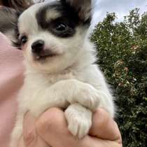 Chihuahua puppy boy, в г.Boiling Springs