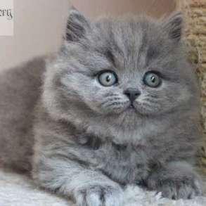 Длинношерстные британские котята, в Москве