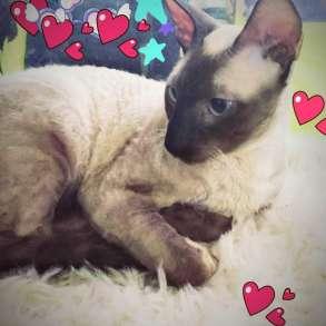 Продам молодого котика Корниш-Рекс, в Воронеже