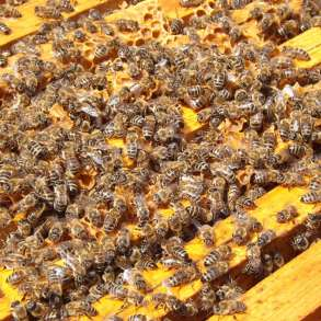 Приму в дар пчёл, в Электроуглях