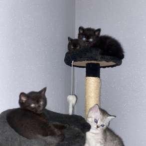 Британские чистокровные котята, в г.Дуйсбург