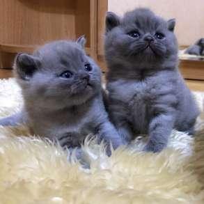 Британские котята, в Чебоксарах