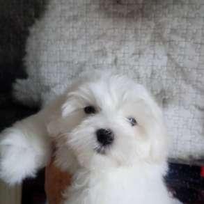 Мальтезики -питомник предлагает щенков мальтискои болонки, в Казани