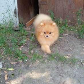 Подрощенный щенок мальчик миниатюрного шпица, в Москве