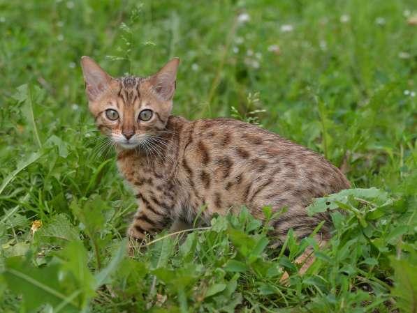 Бенгальсике котята в Нижнем Новгороде фото 14