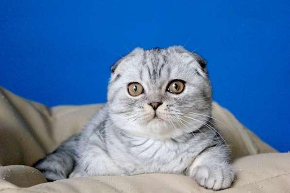 Котята в серебристых шубках