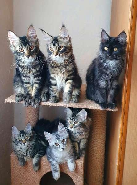 Котята Мейн-кун мальчики и девочки