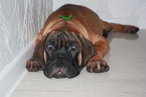 Продаются очаровательные щенки породы Бульмастиф