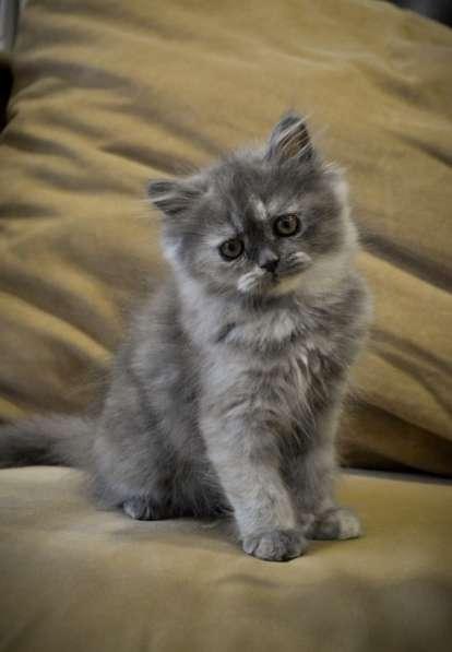 Очаровательная персидская кошечка в Орле