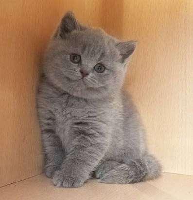 Котята страйты и фолды