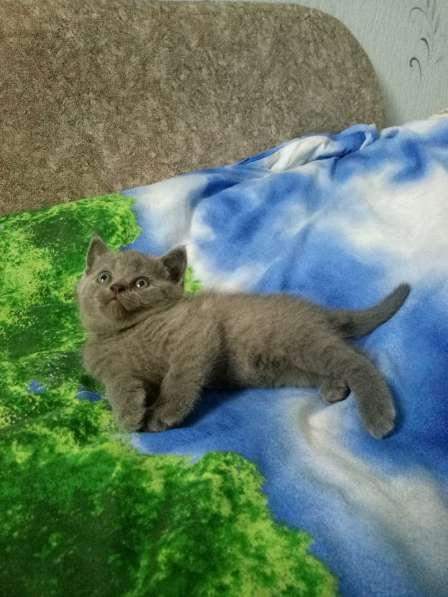 Продам британского котика в Ногинске
