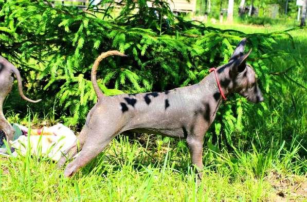 Мексиканская голая собака среднего размера в Москве