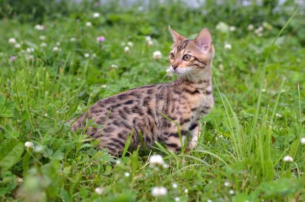 Бенгальсике котята в Нижнем Новгороде фото 18