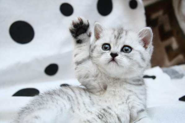 Снежный барс котик и кошечка пятно на серебре, вискас в Санкт-Петербурге фото 4