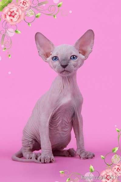 Поднимет Ваше настроение котёнок сфинкс!