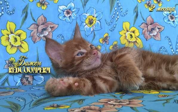 Котёнок менй кун красный солид. Шоу класс в Перми фото 17