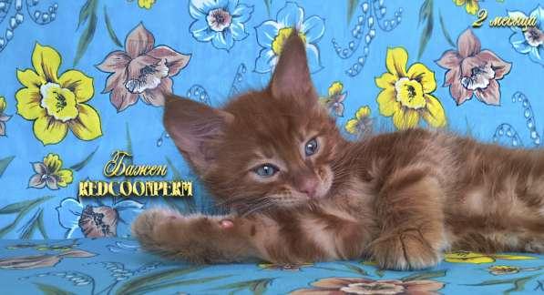 Котёнок менй кун красный солид. Шоу класс в Перми фото 15